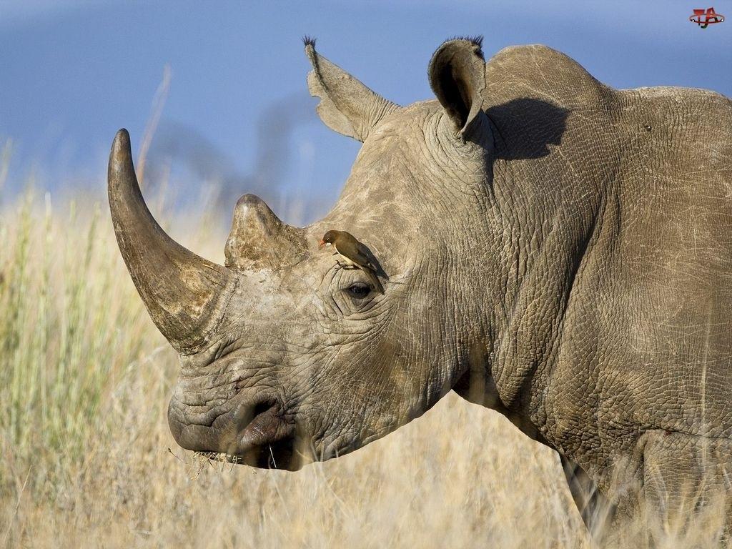 Wielki, Nosorożec