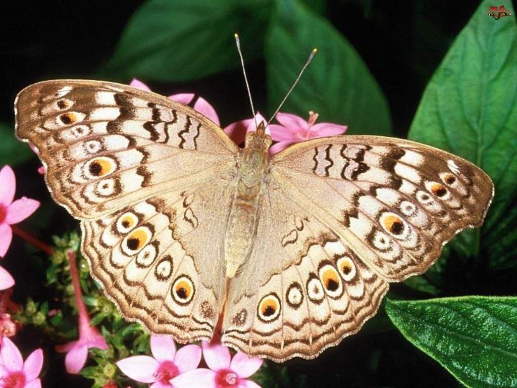 Brązu, Motyl, Odcienie