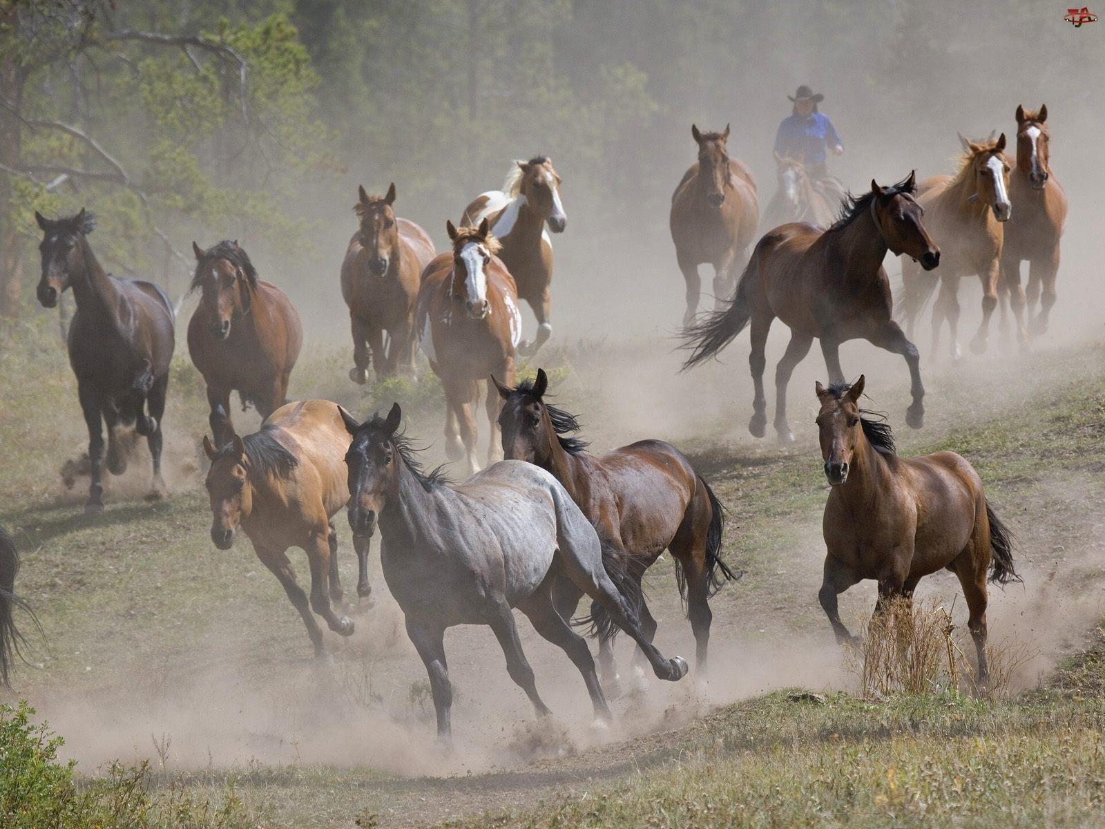 Koni, Stado, Pędzących