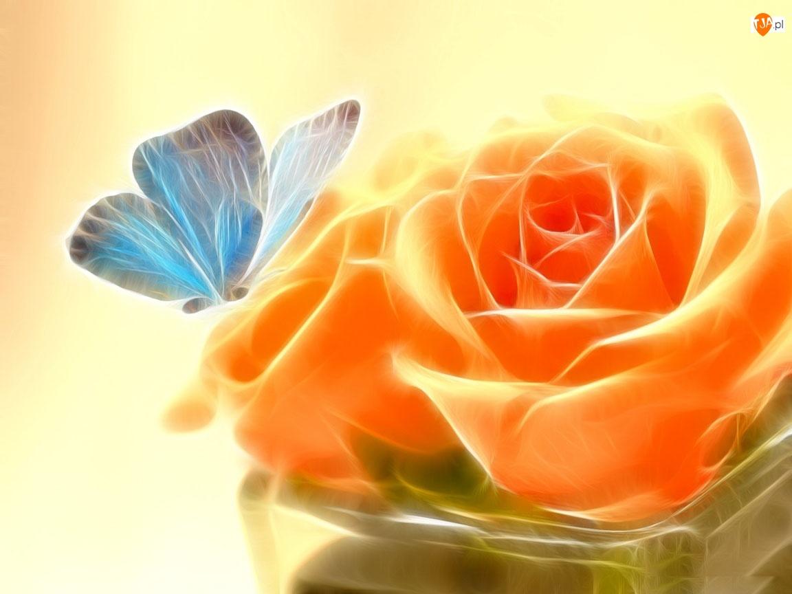 Motyl, Pomarańczowa, Róża