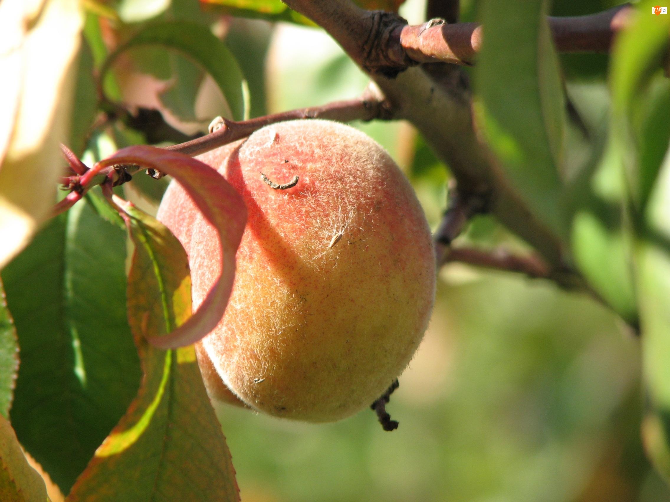 Owoc, Brzoskwinia, Gałązka