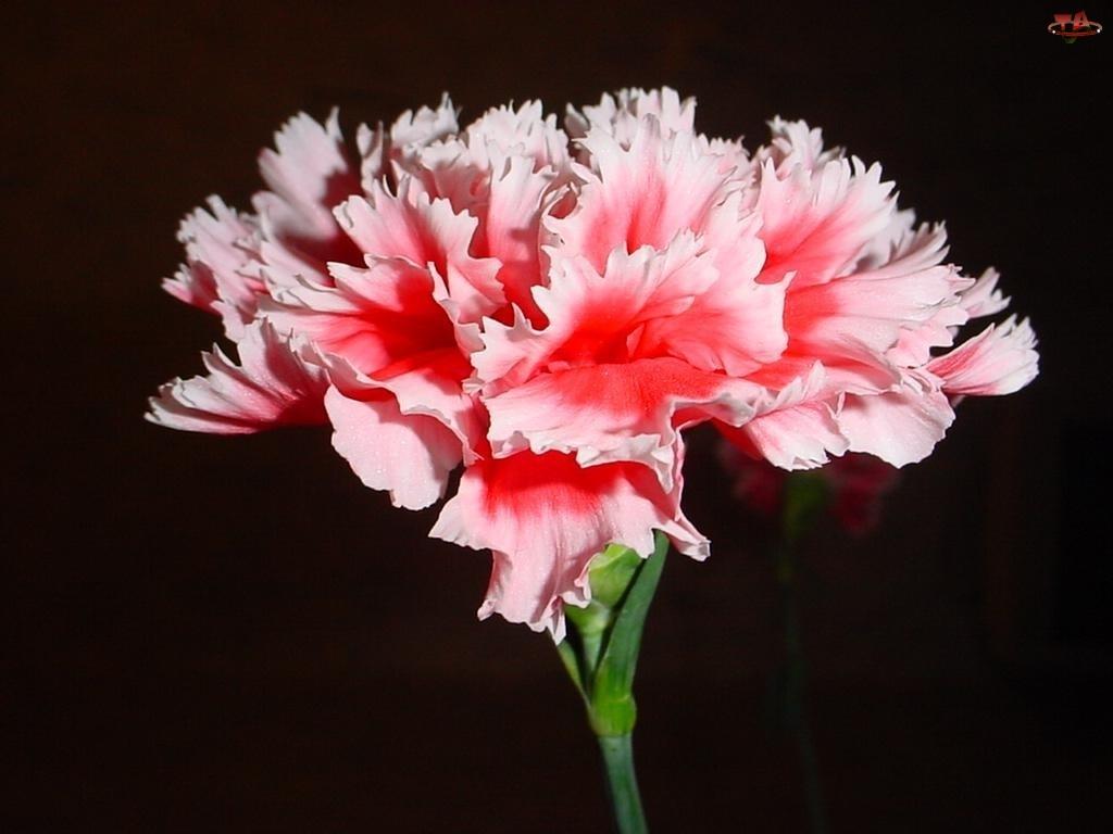 Różowy, Goździk