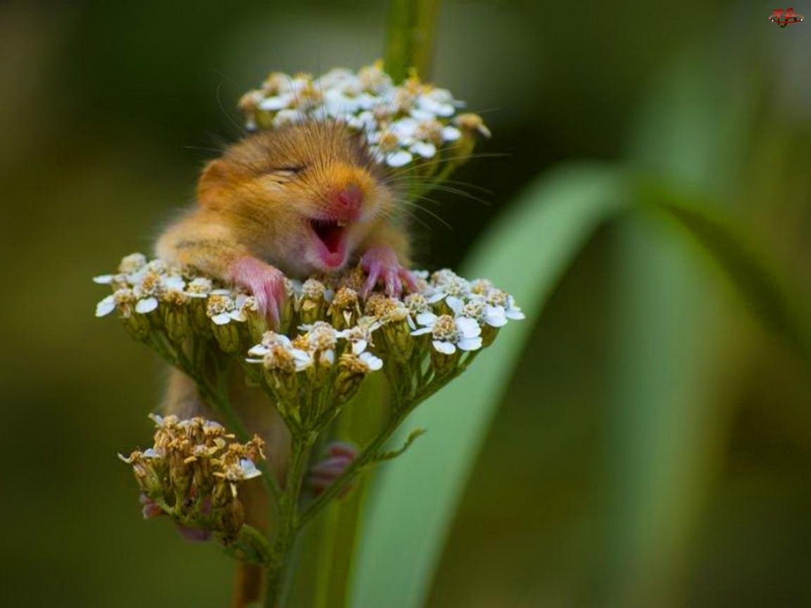 Kwiat, Zadowolona, Myszka