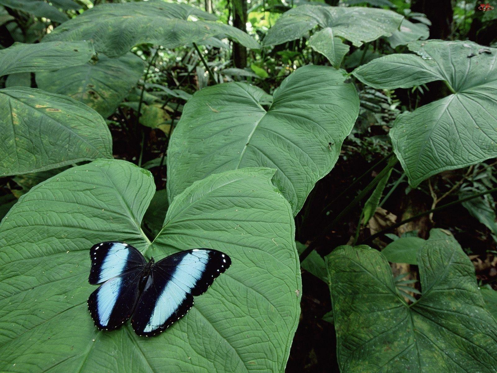 Liście, Motyl, Duże