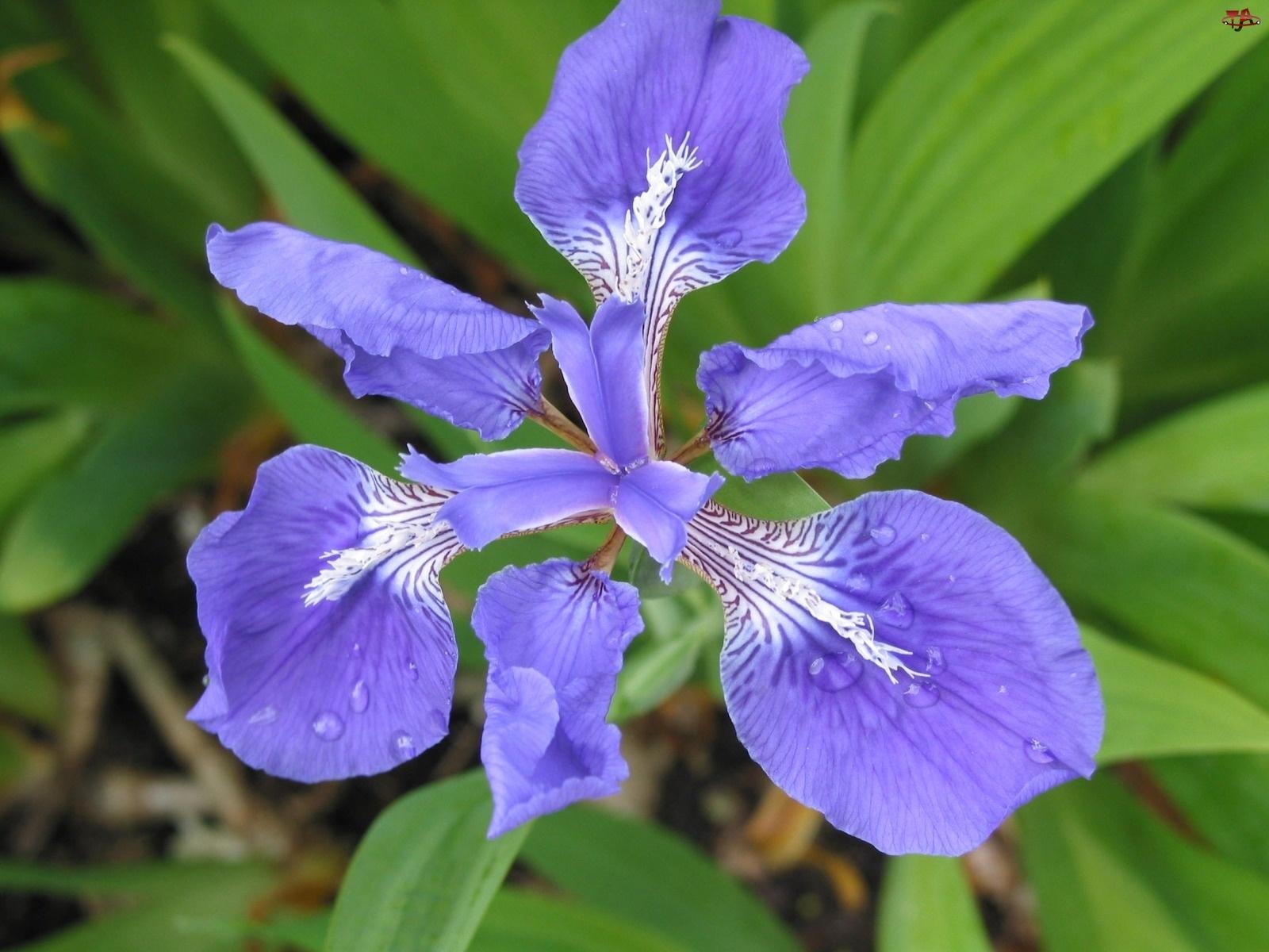 Irys, Niebieski, Kwiat