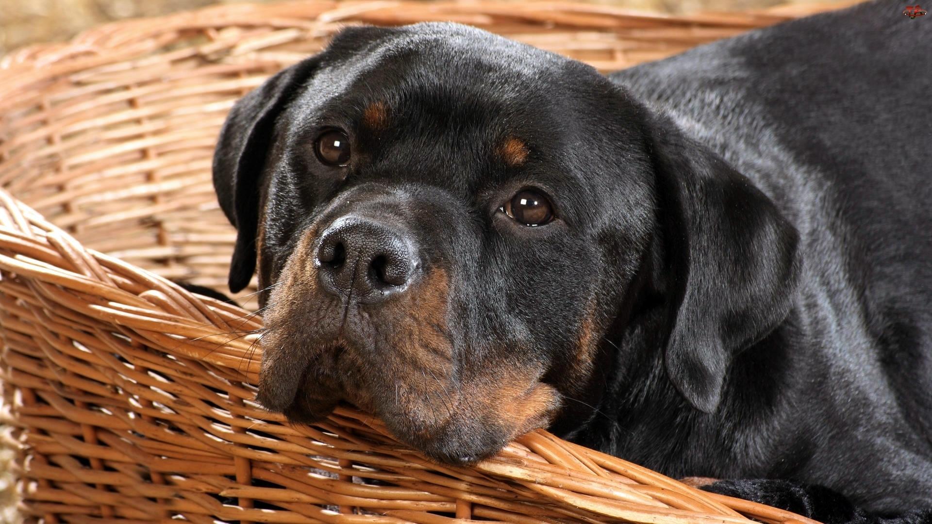Rottweiler, Posłanie