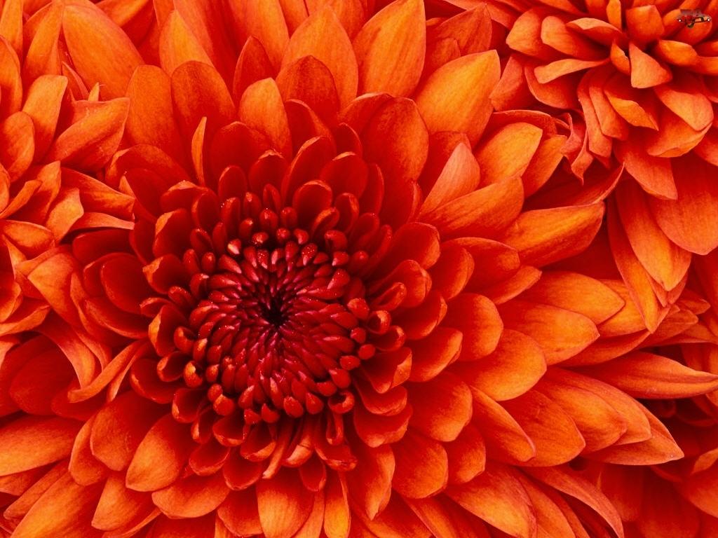 Pąk, Pomarańczowy, Kwiat