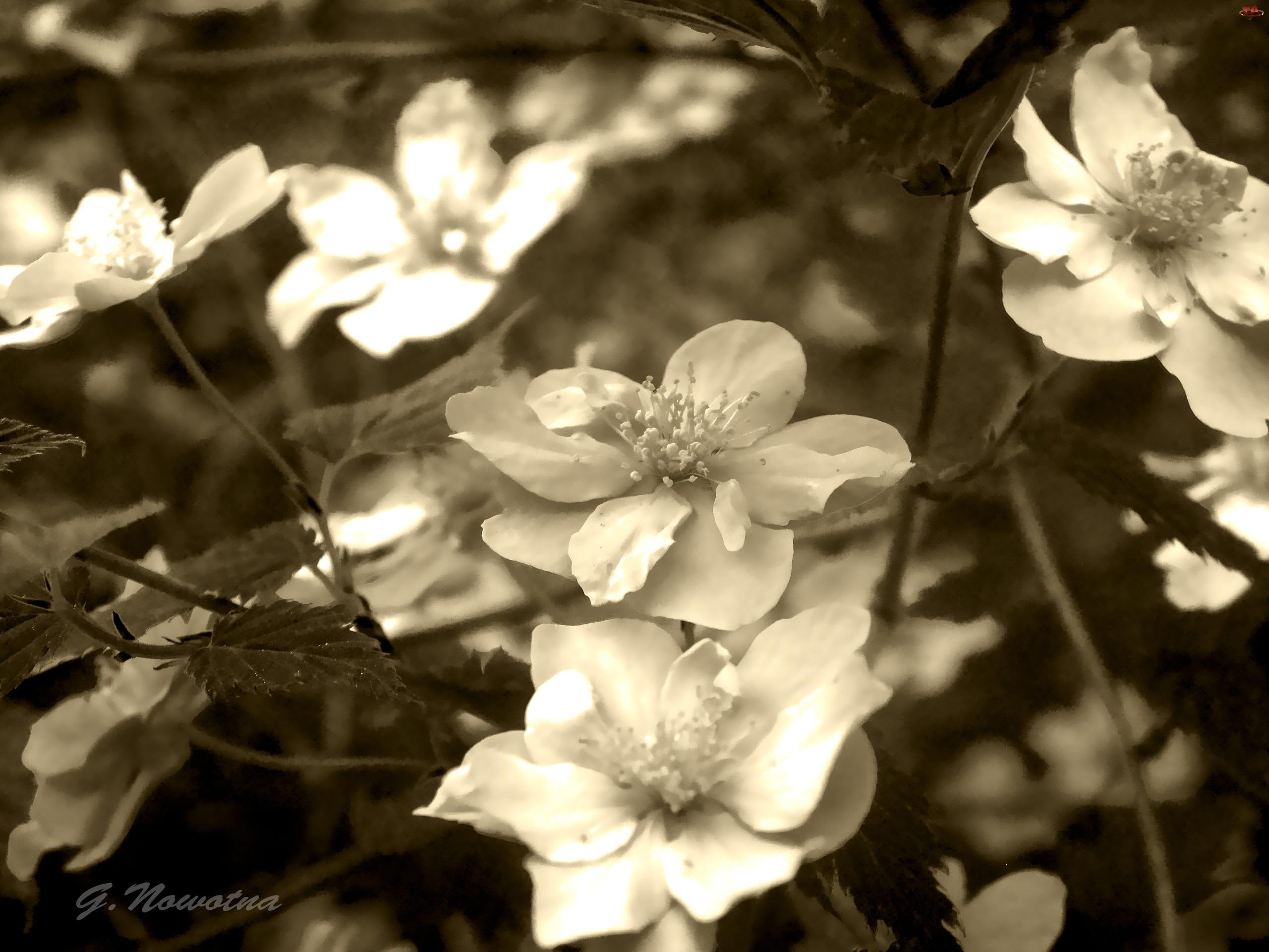 Kwiaty, Sepia