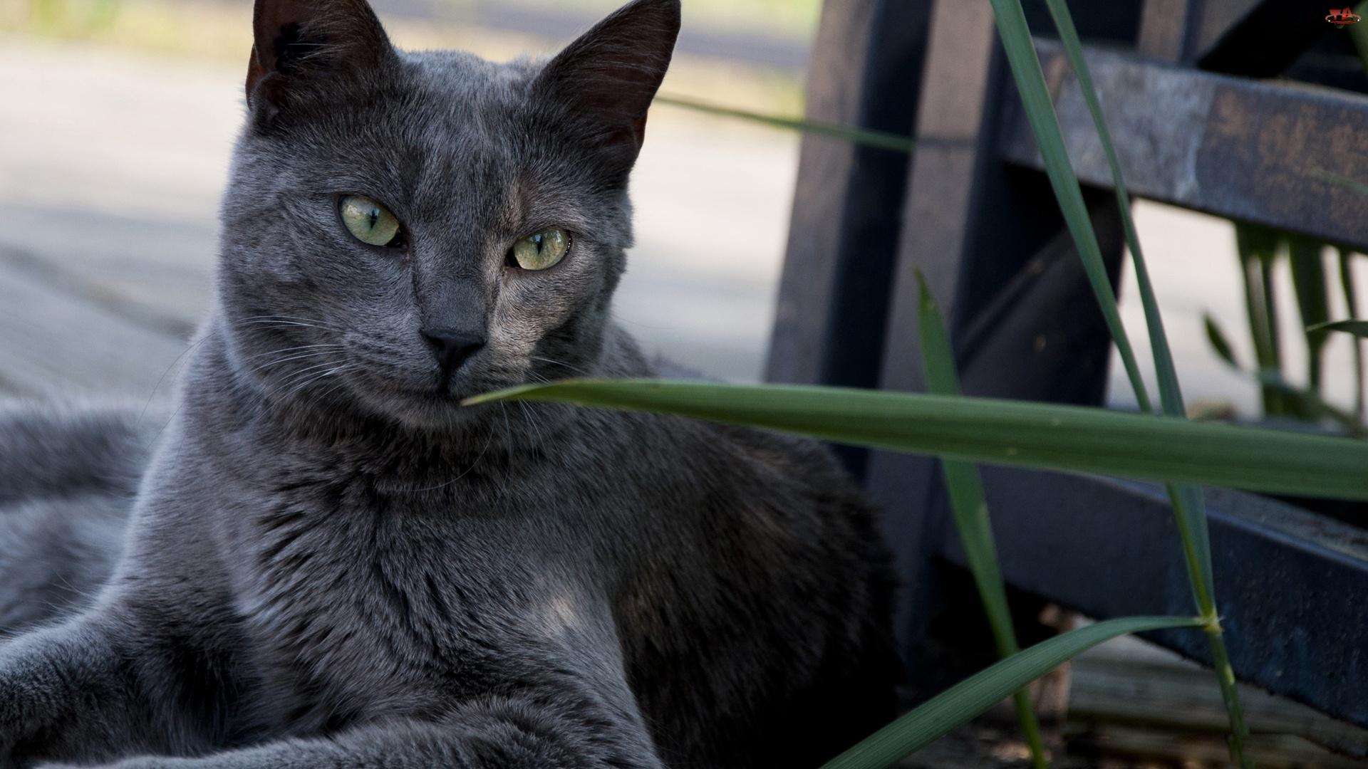 Kot, Rosyjski Niebieski