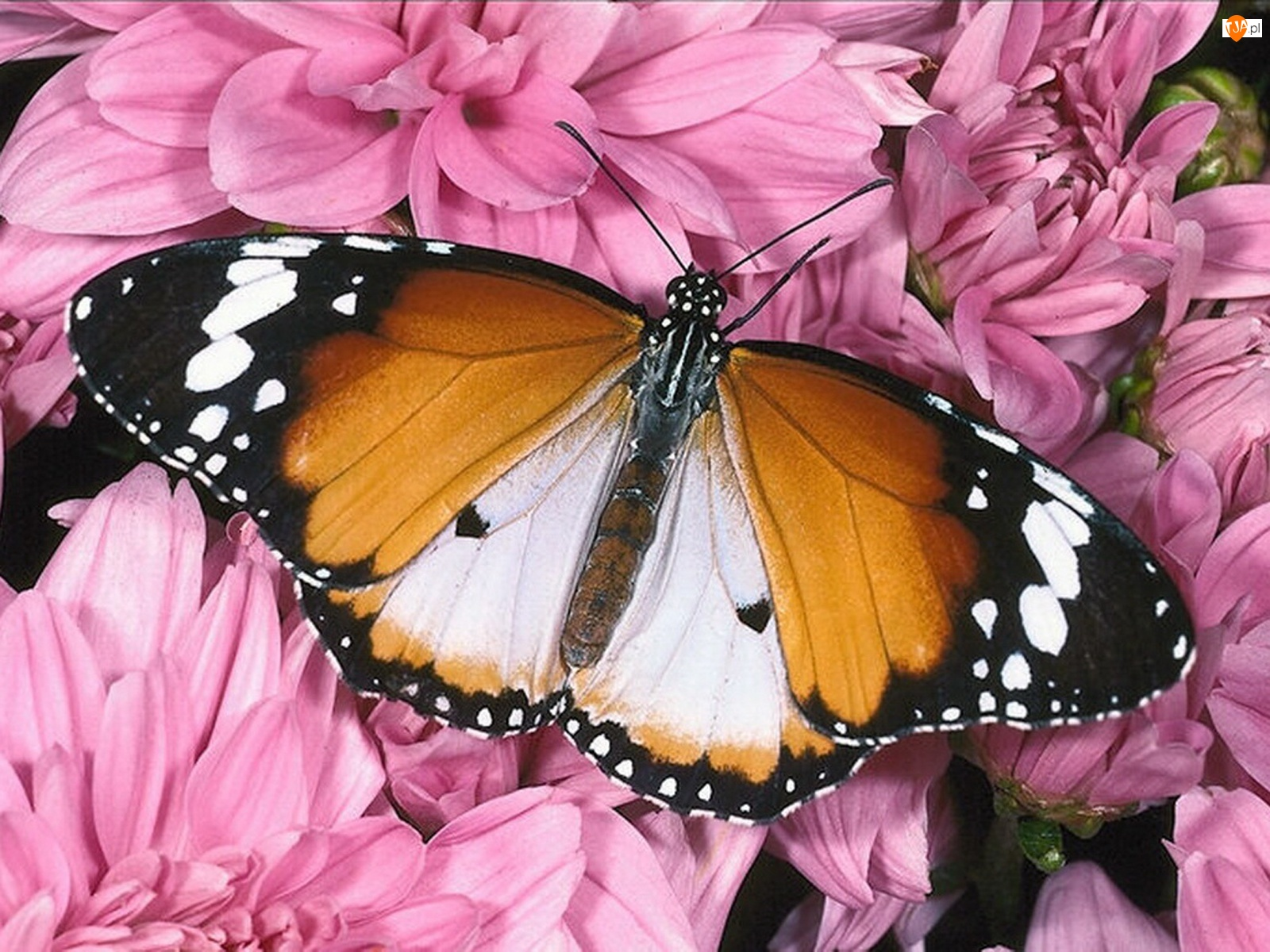 Motyl, Różowe, Kwiaty