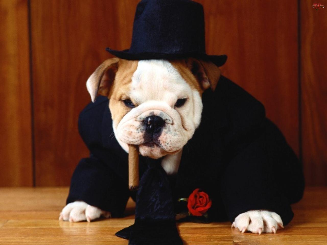 Pies, Krawat, Kapelusz, Cygaro