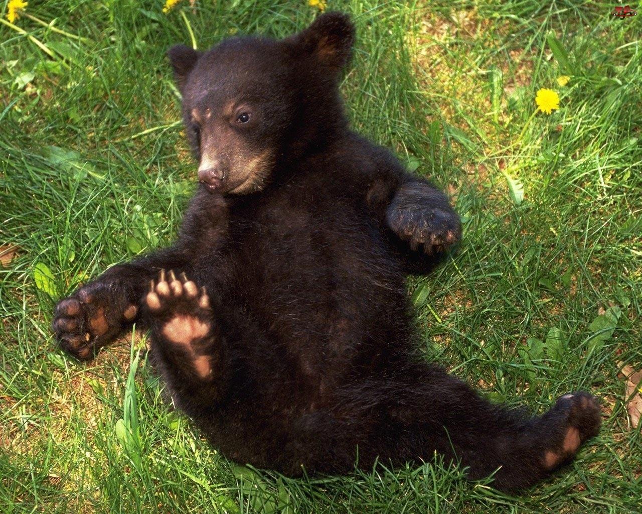 Mały, Grizzly