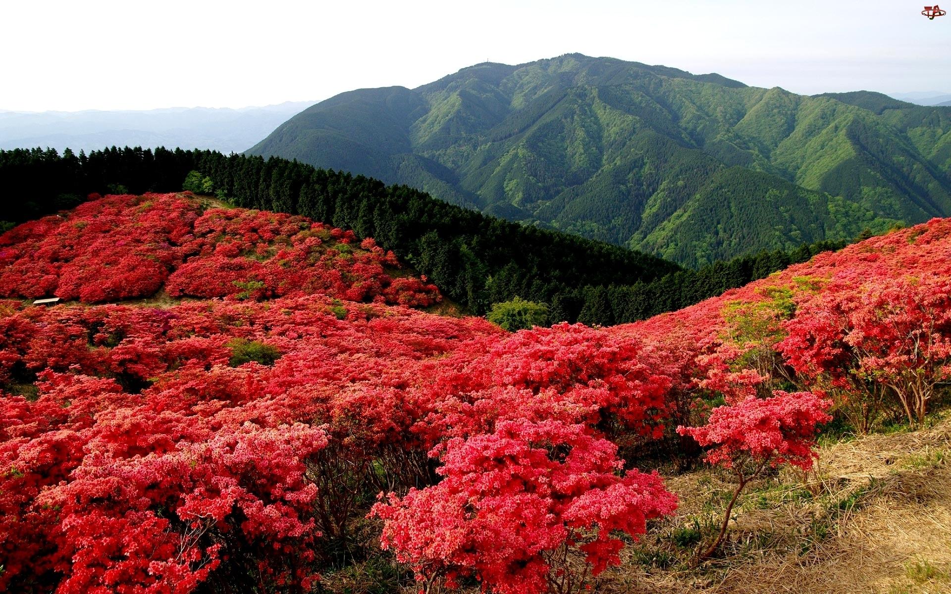 Kwiaty, Góry, Łąka