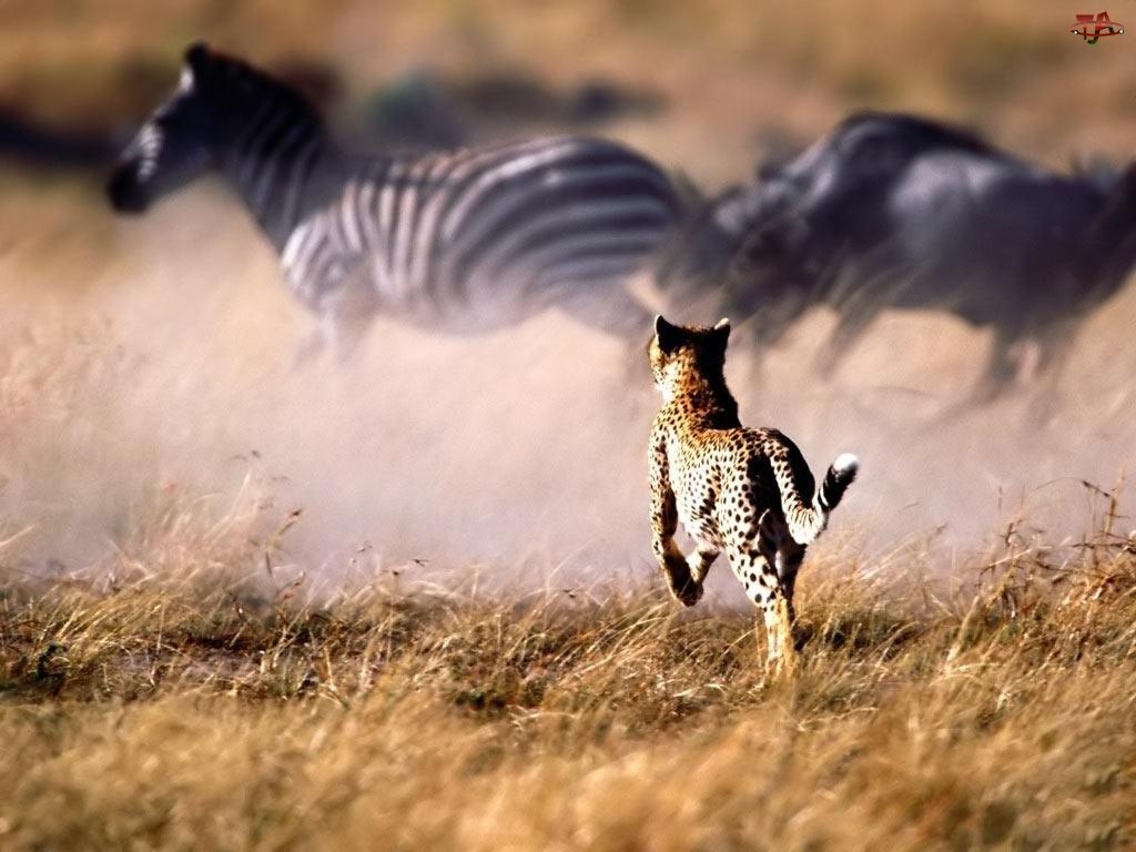 Polowanie, Gepard, Zebry