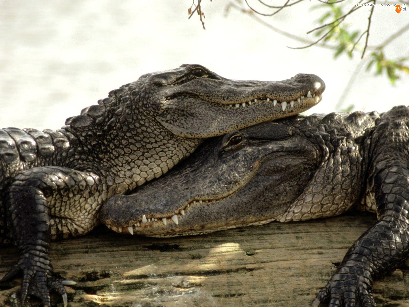 Miłość, Krokodyli