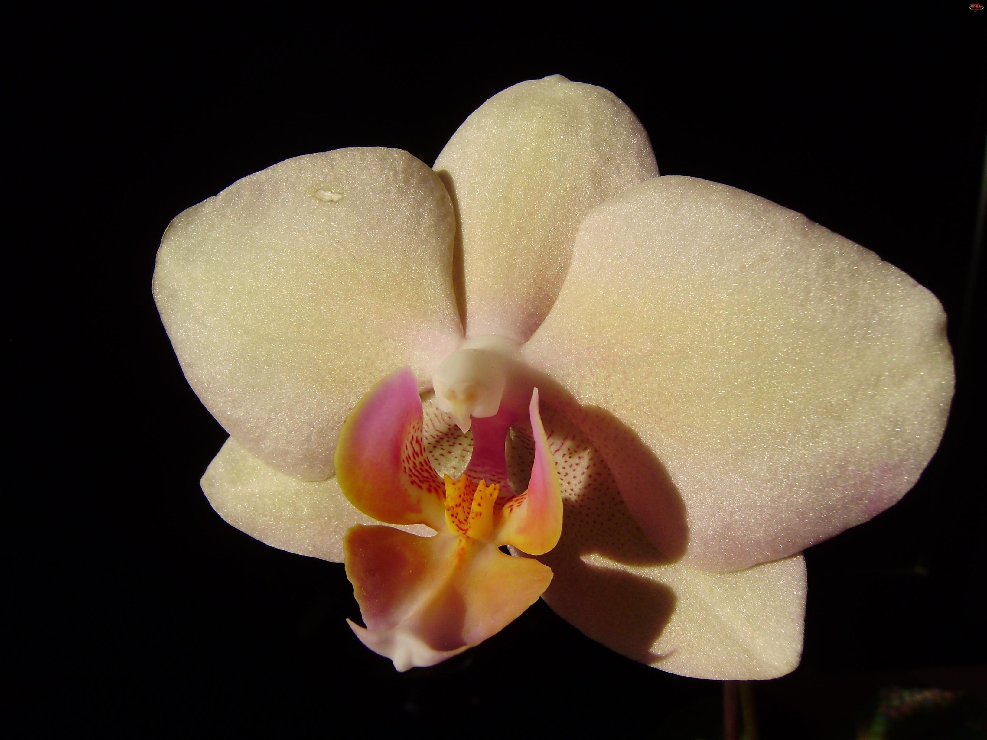 Storczyk, Phalaenopsis