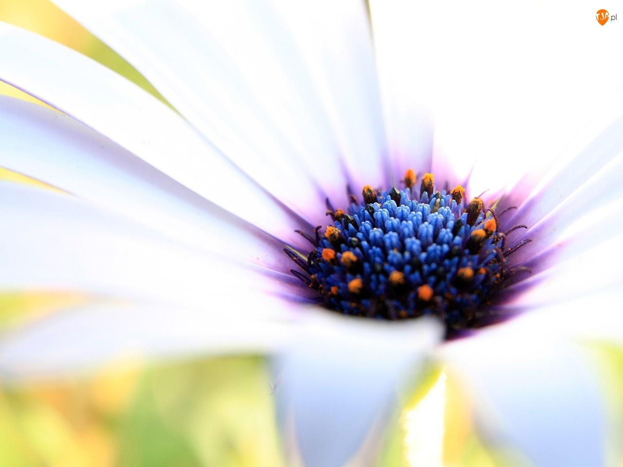 Biały, Środek, Kwiat, Kolorowy