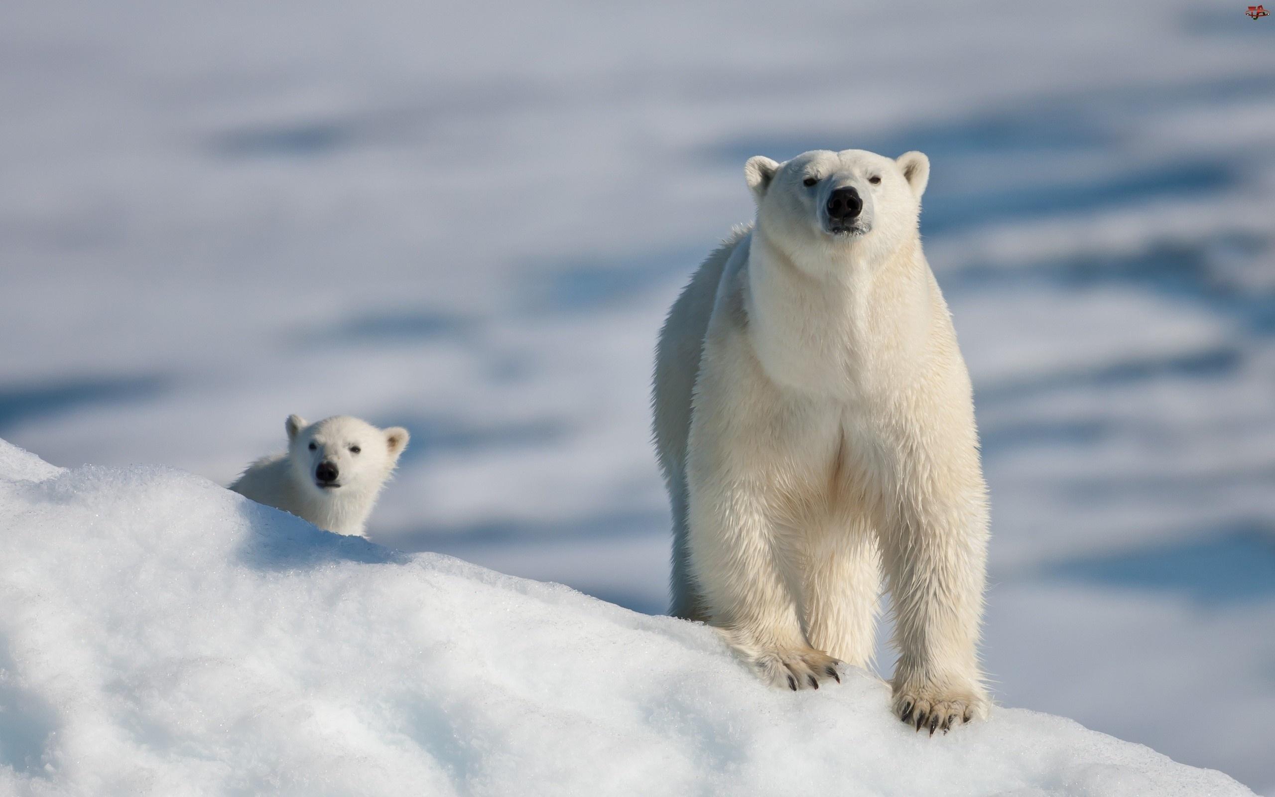 Spacer, Niedźwiedzie, Polarne