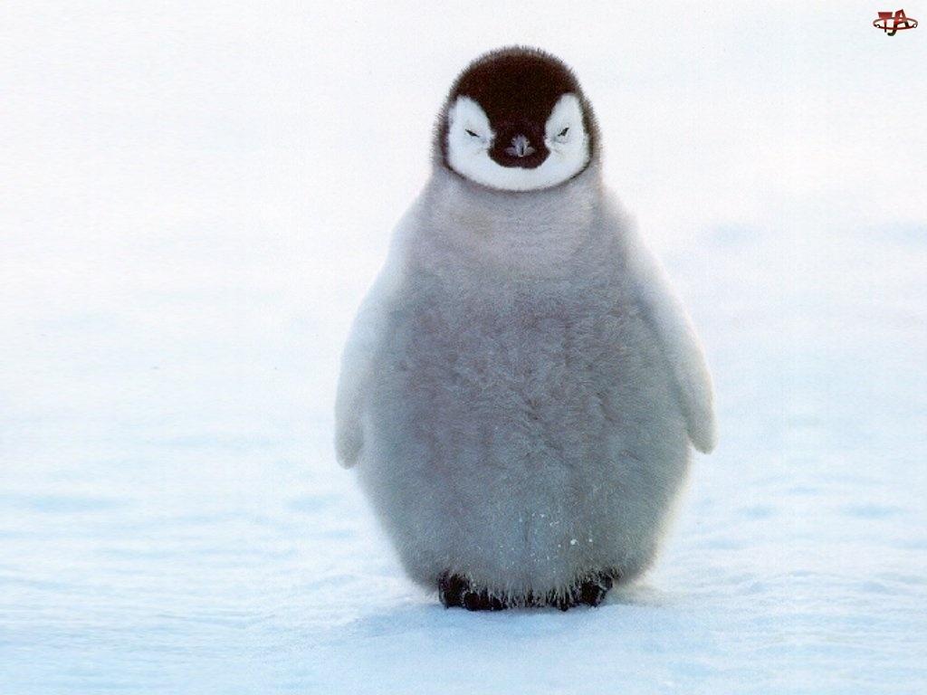 Pingwinek, Puszysty, Mały