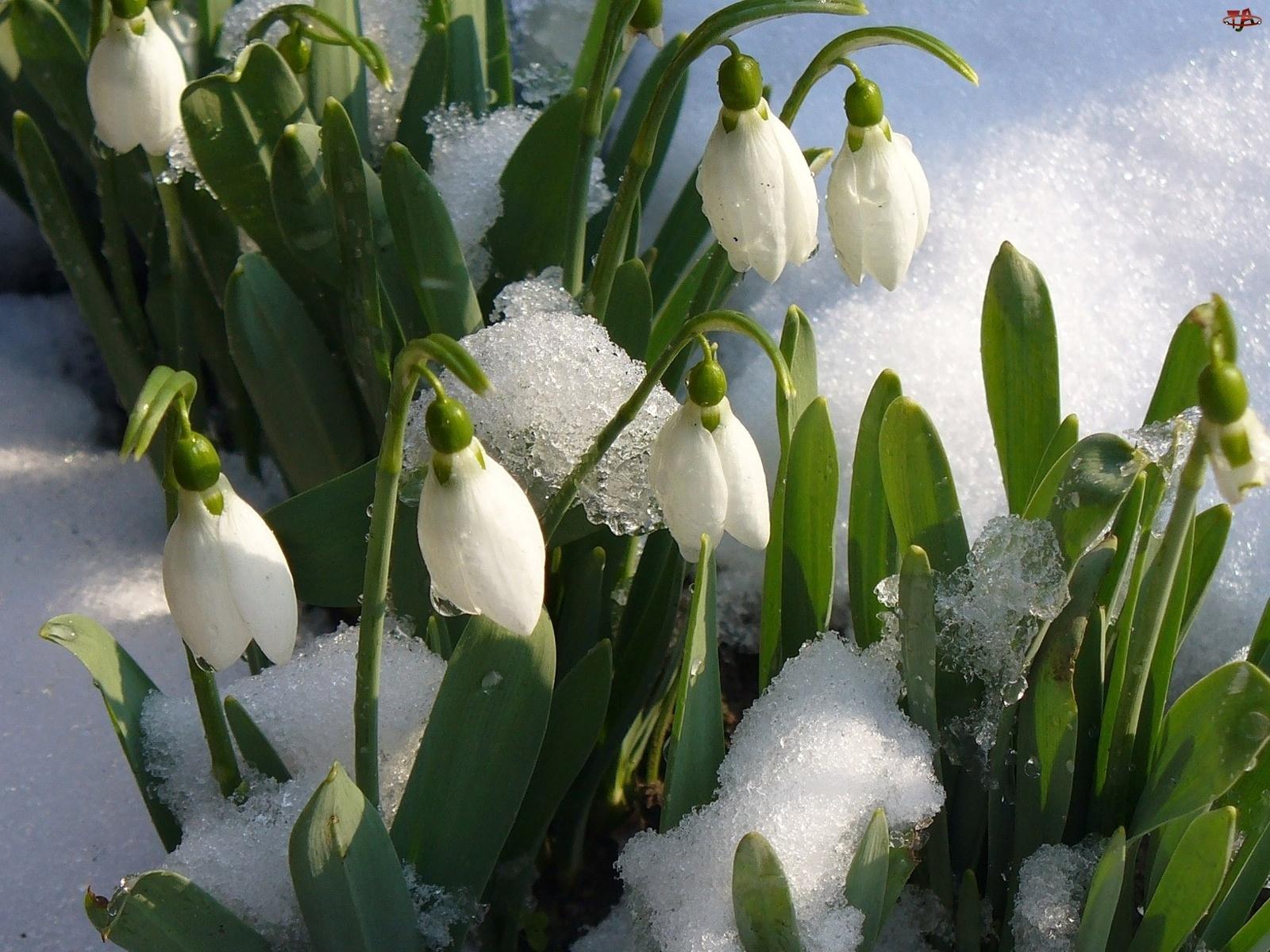 Śnieg, Przebiśniegi, Topniejący