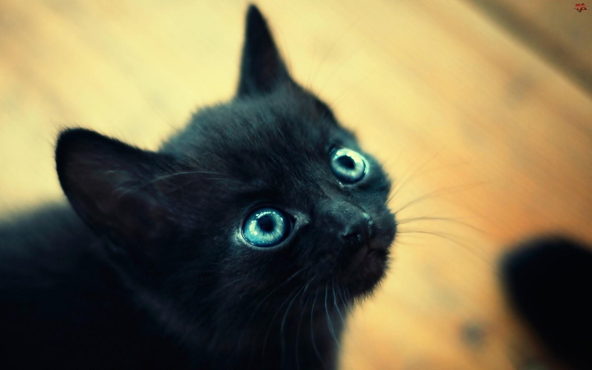 Czarny, Oczy, Kot, Niebieskie