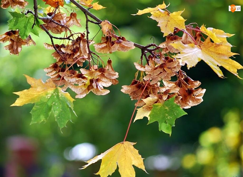 Klonu, Jesień, Liście