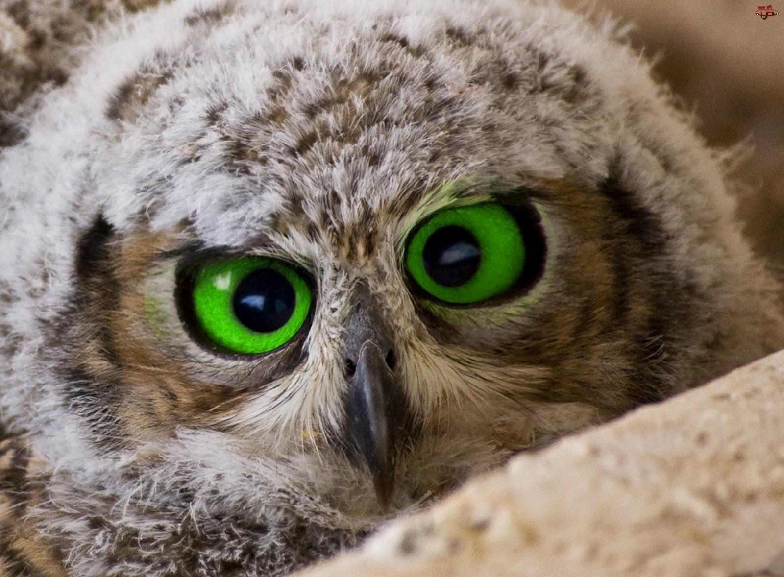 Oczy, Sowa, Duże