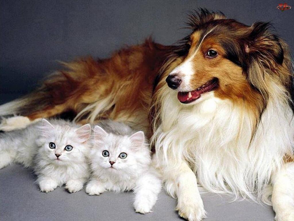 Białe, Owczarek szkocki długowłosy, Kotki, Pies