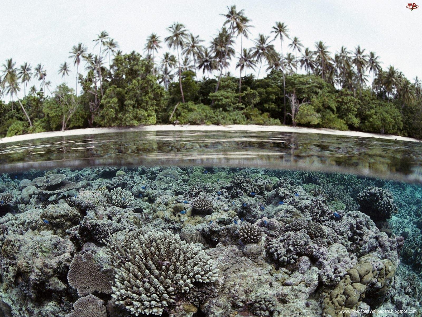 Palmy, Rafa, Wyspy, Koralowa, Salomona