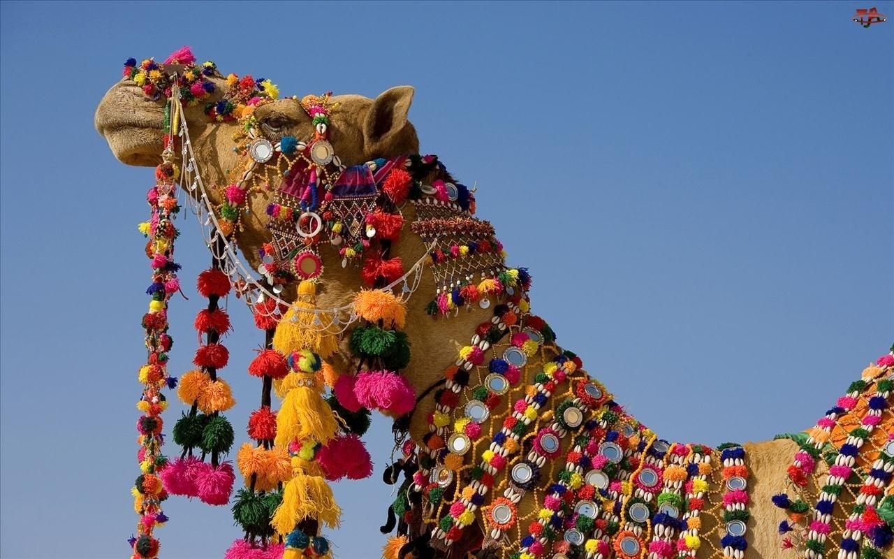 Dodatki, Wielbłąd, Kolorowe