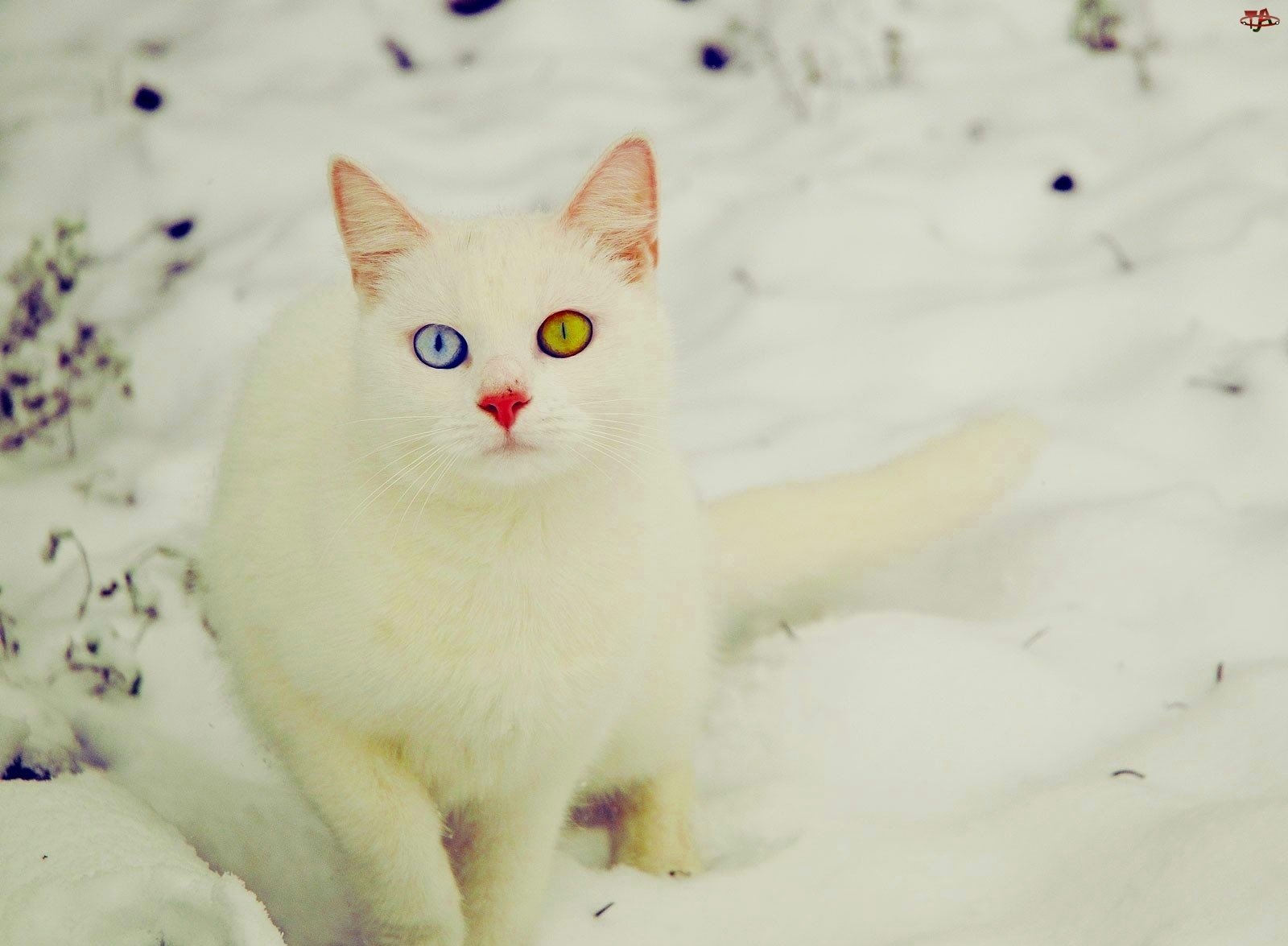 Oczy, Kot, Różnokolorowe