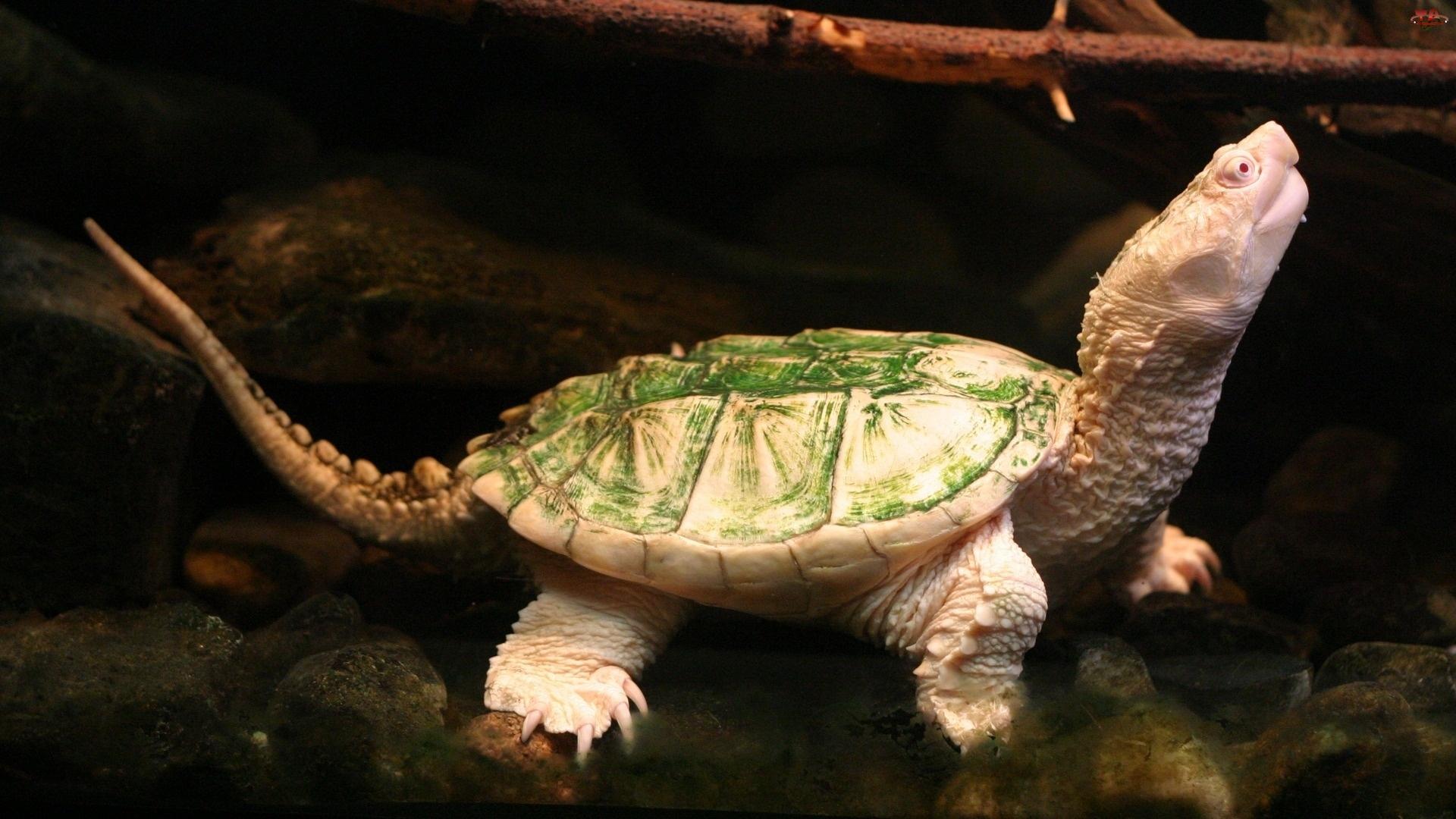 Skorupa, Żółw, Zielona