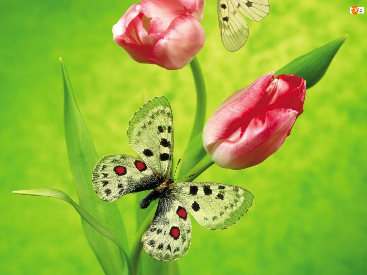 Dwa, Motylki, Czerwone, Tulipany