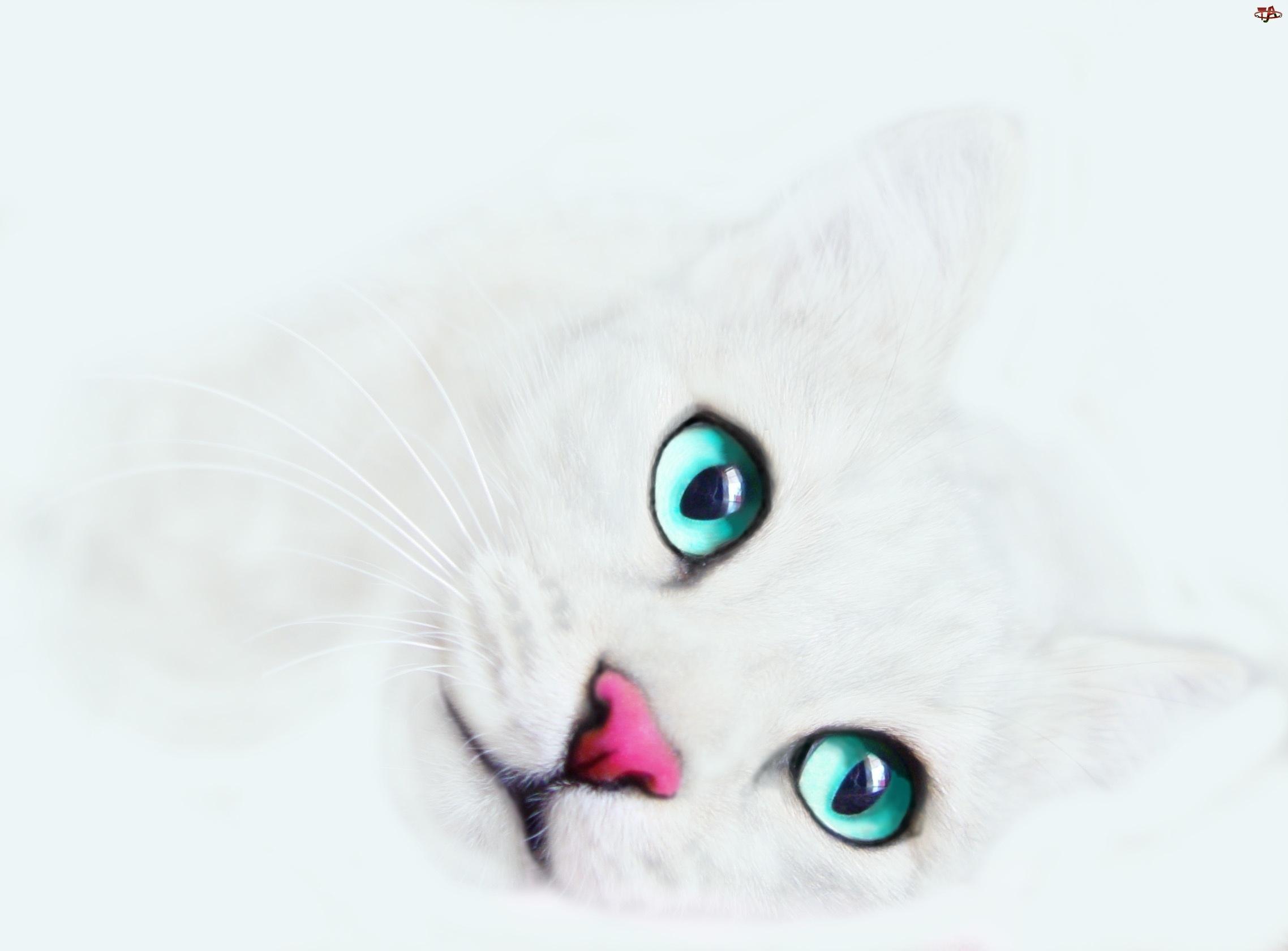 Kot, Oczy, Różowy, Nosek
