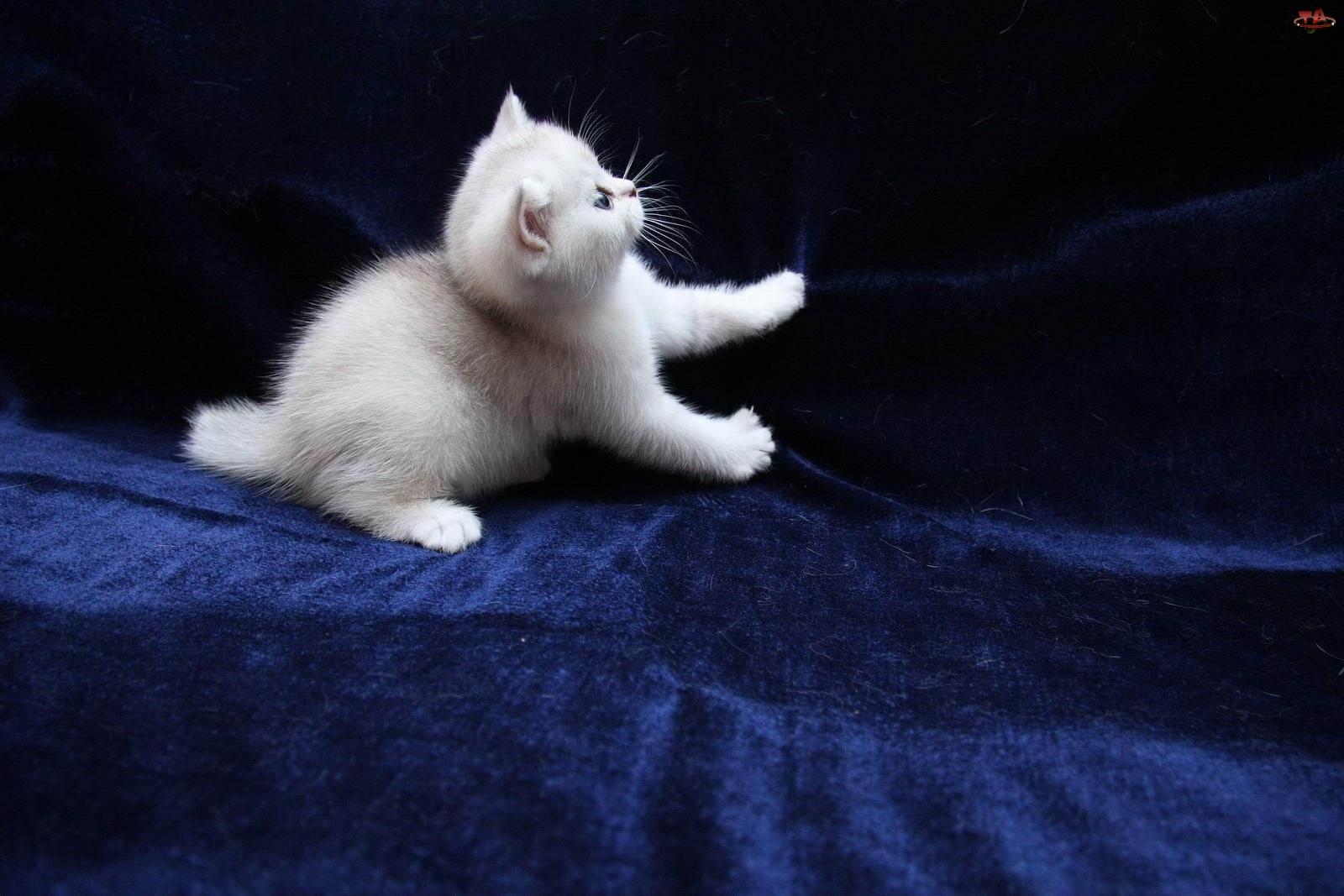 Biały, Kot