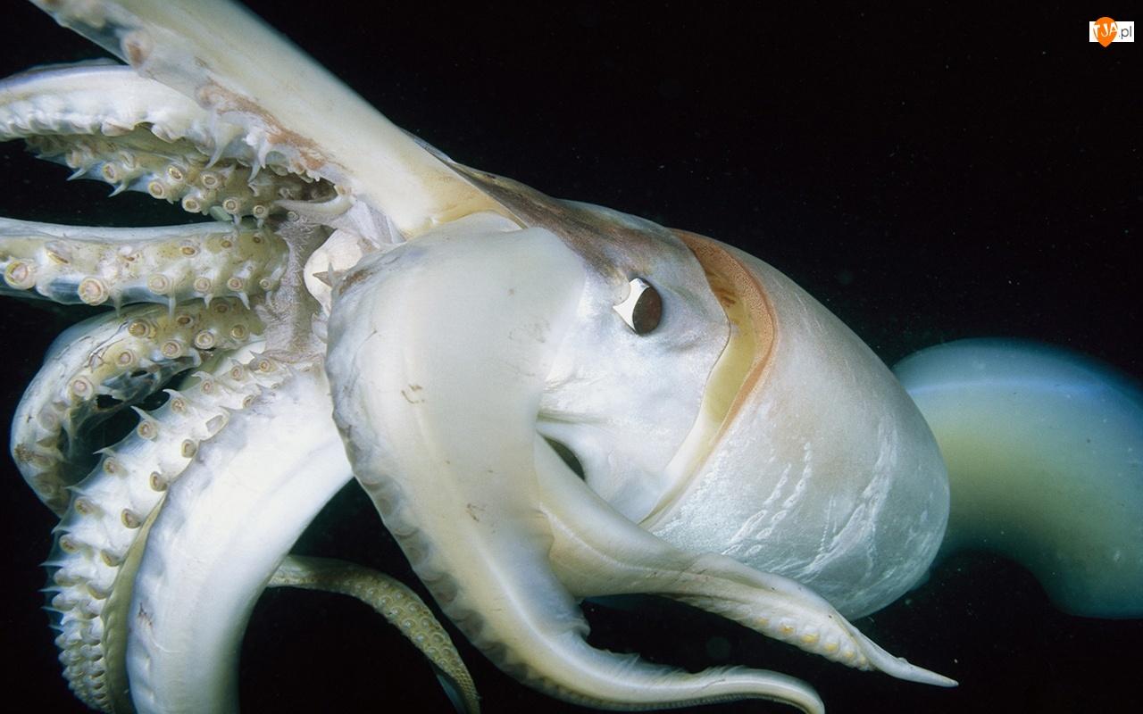 Ośmiornica, Głębiny