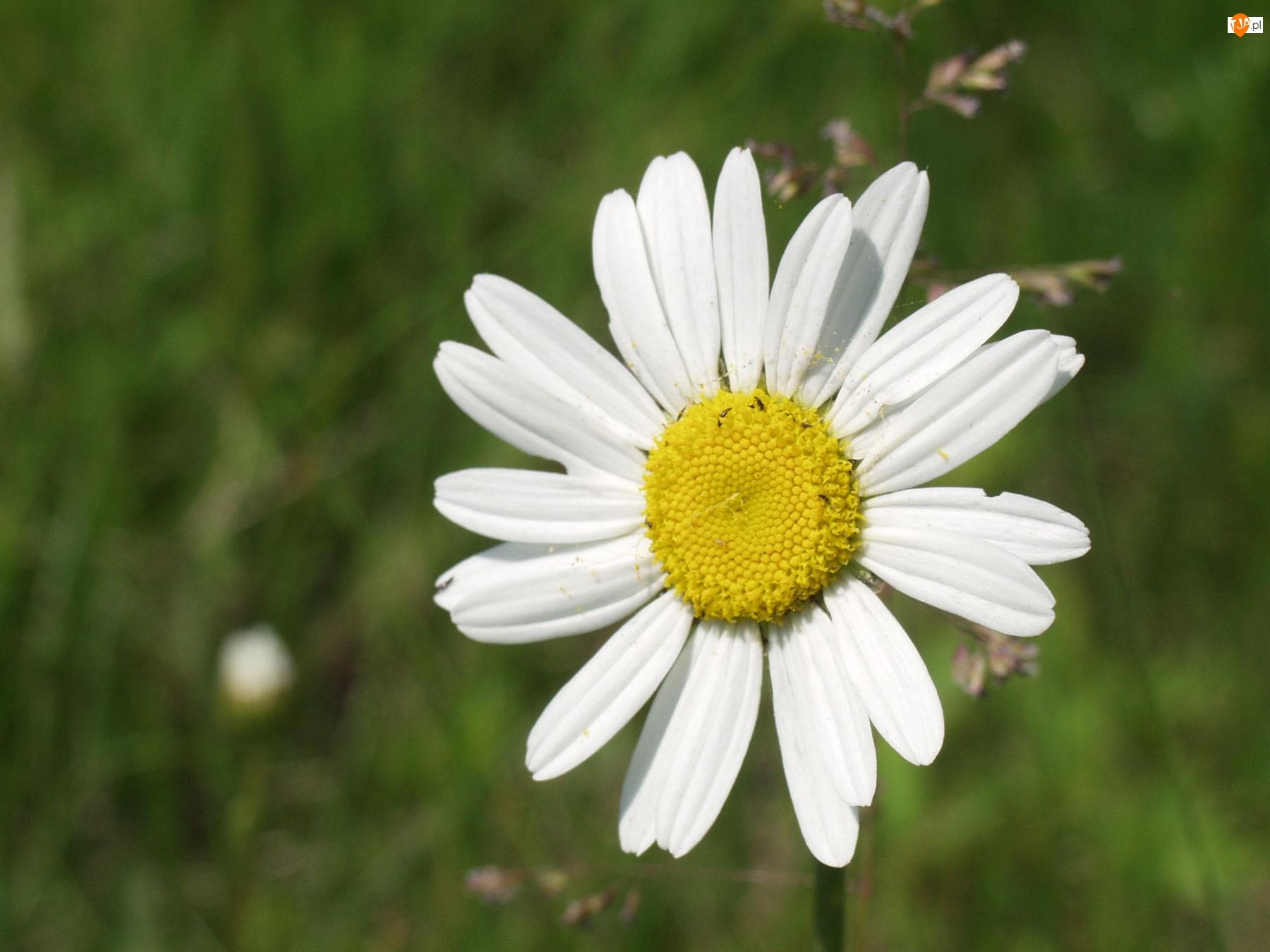 Wiosenna, Margerytka