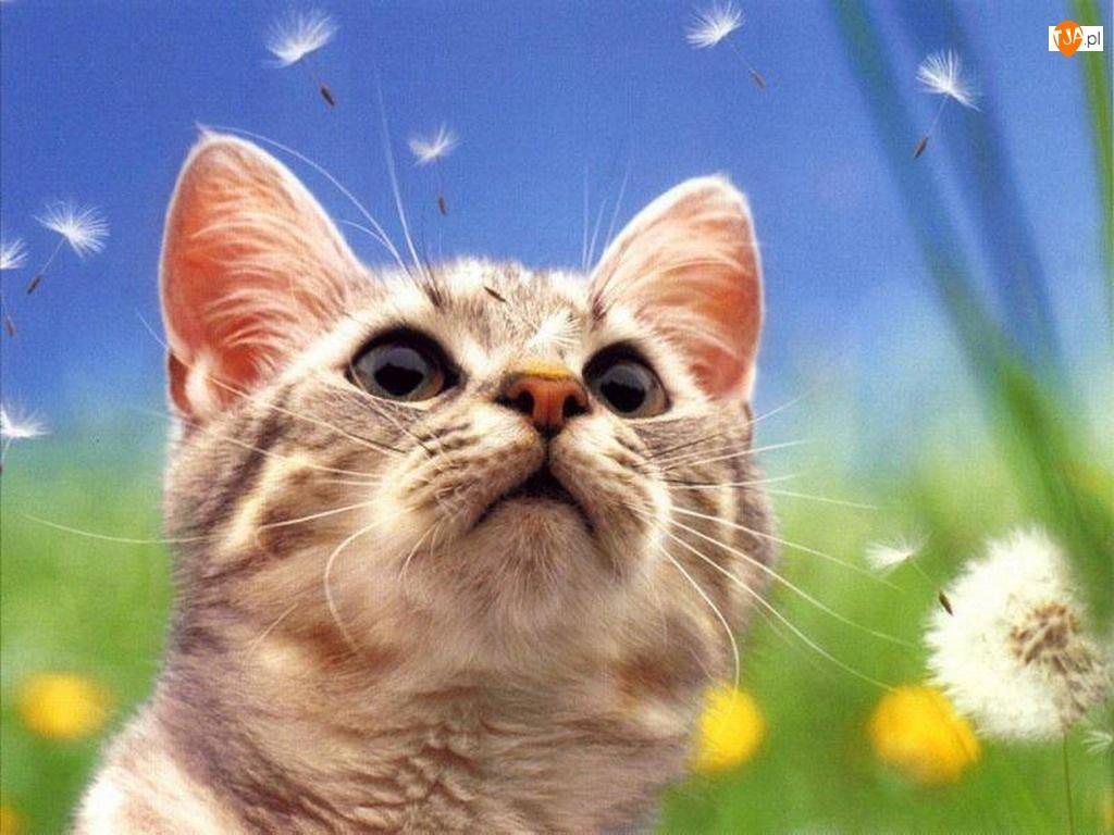 Kot, Dmuchawce