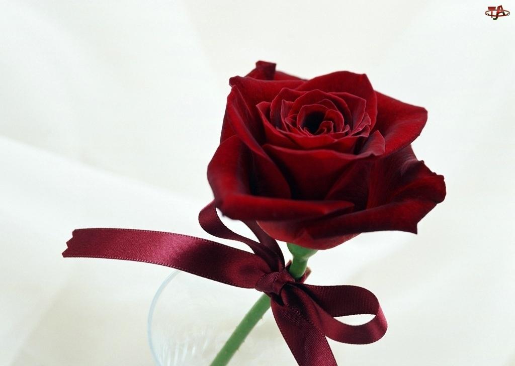 Wstążeczka, Czerwona, Róża