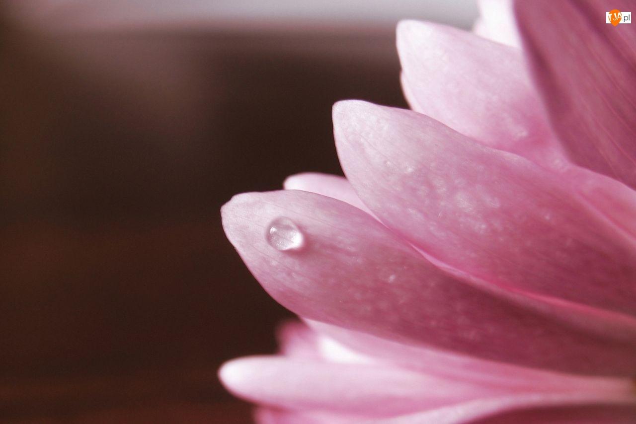 Wody, Kwiat, Płatki, Różowe, Kropla