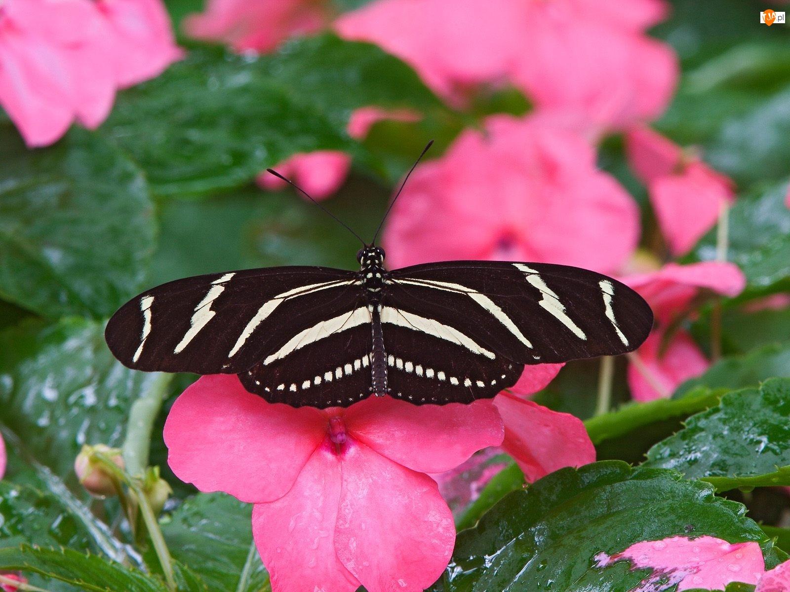 niecierpek, Motyl, kwiat