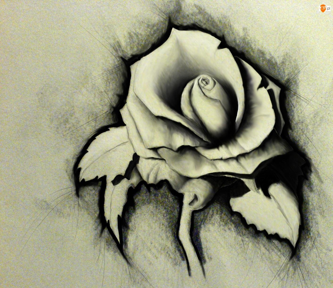 Naszkicowana, Papier, Róża, Szary