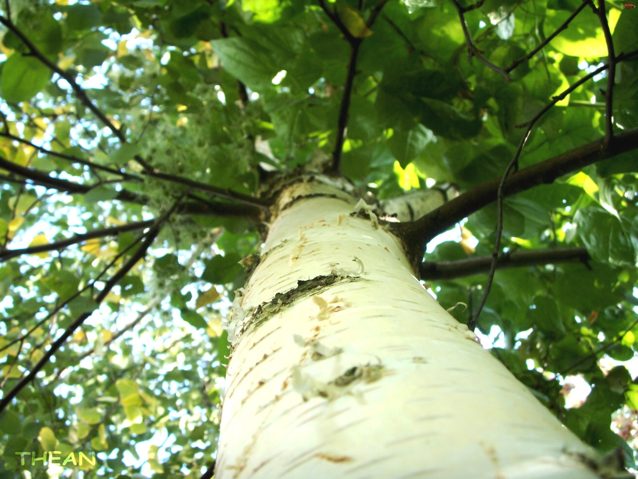 Brzoza, Drzewo