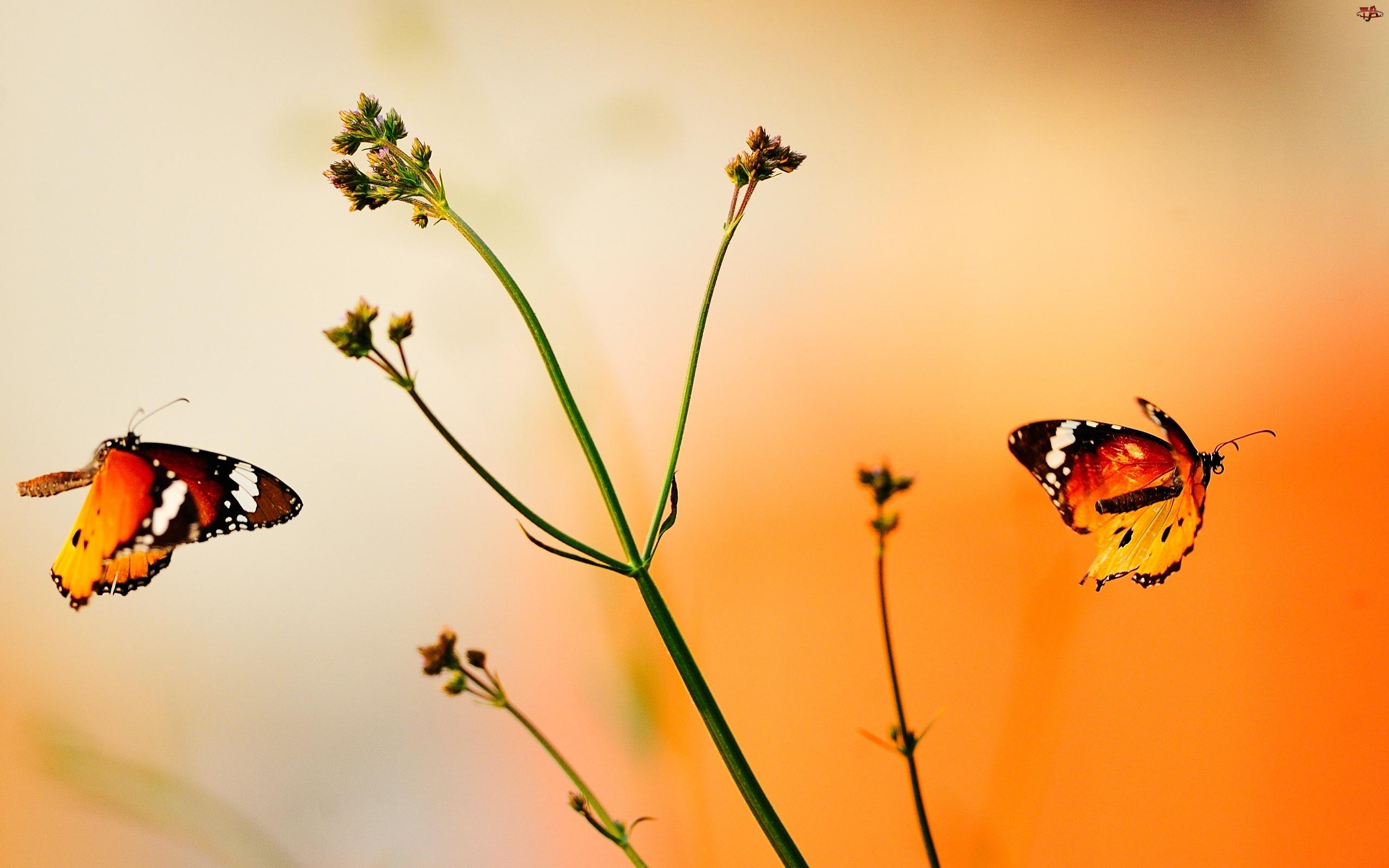 Dwa, Kolor, Motyle, Pomarańczowy