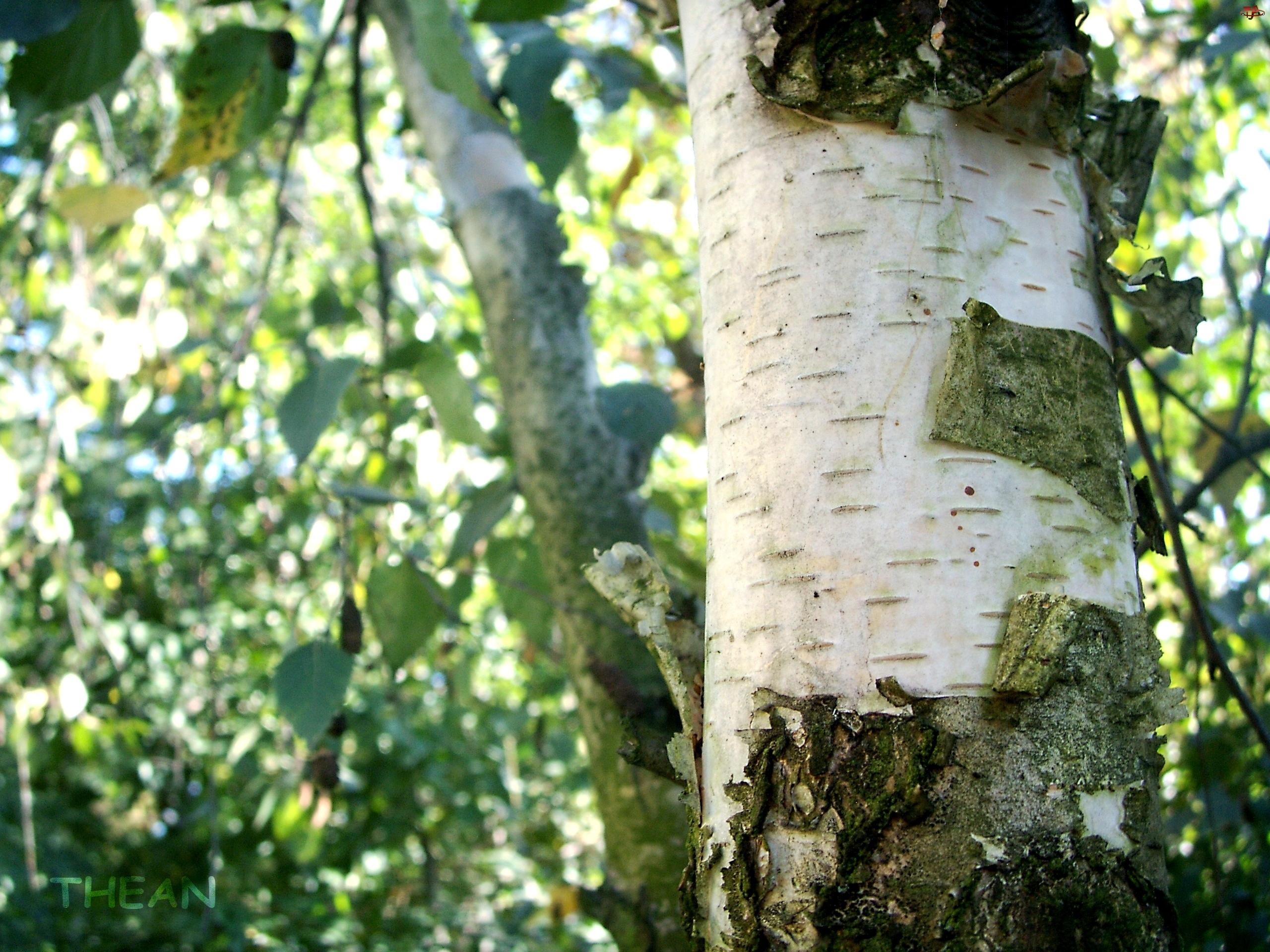 Kora, Brzoza, Drzewo