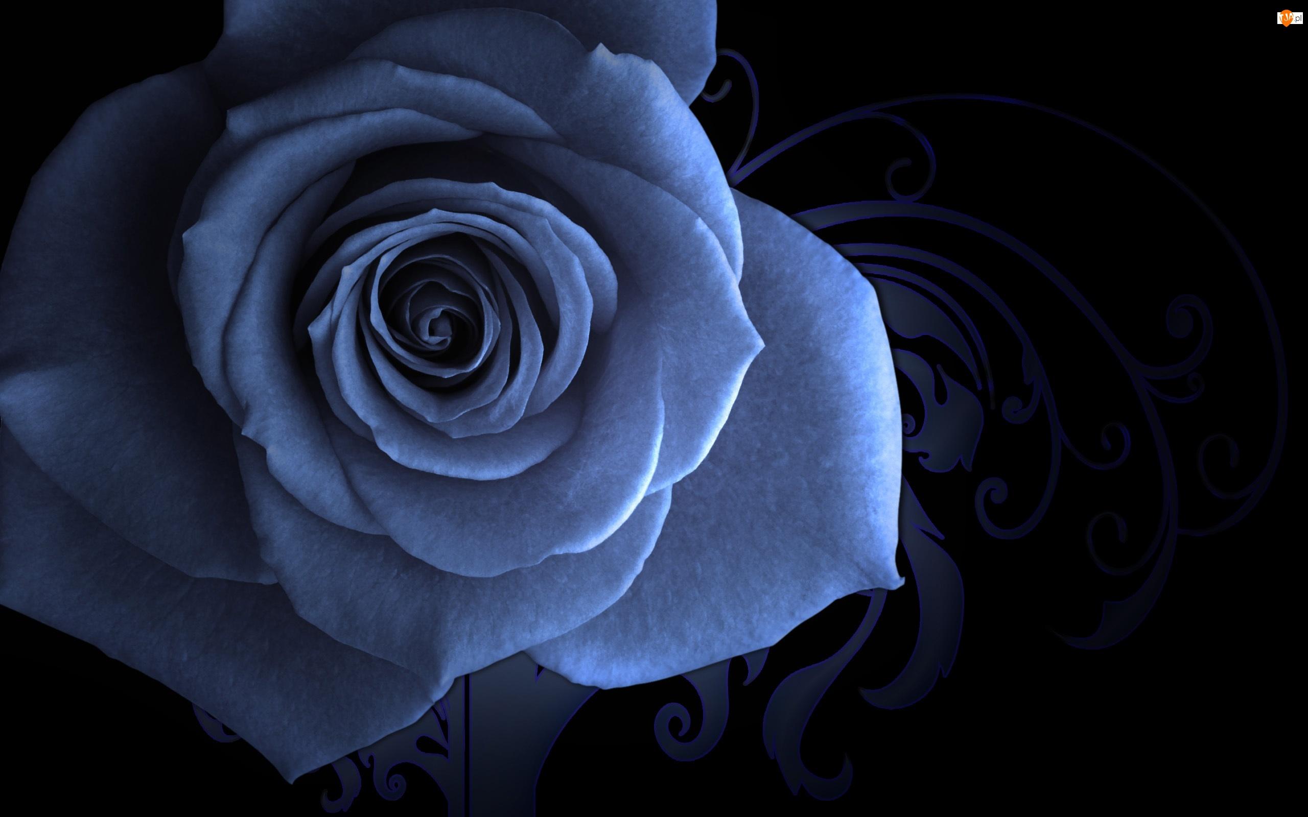 Pąk, Róży