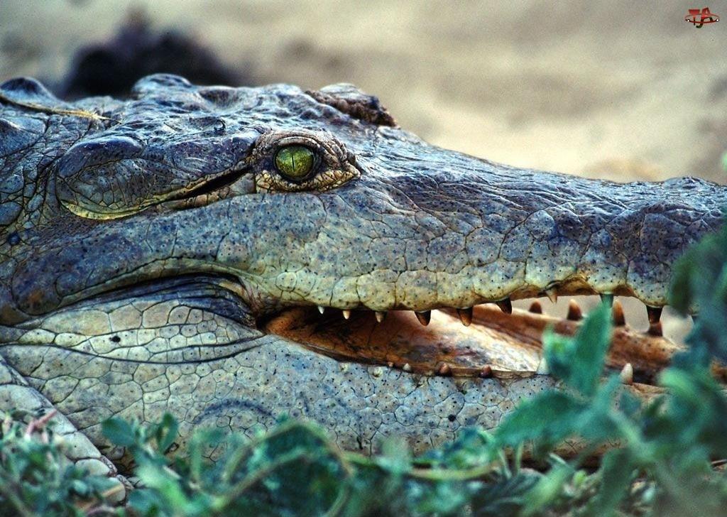 Krokodyla, Szczęka