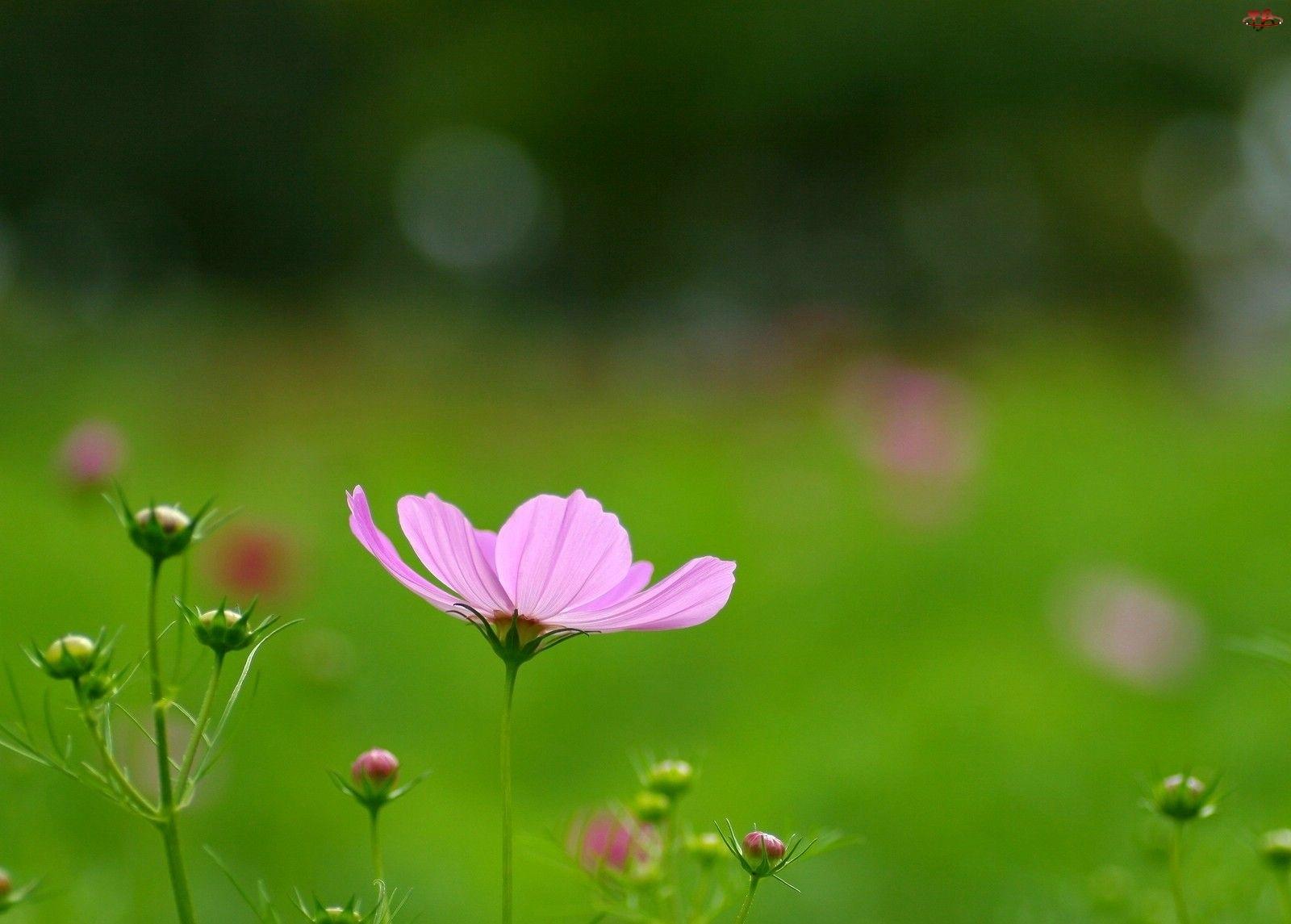 Kosmea, Różowy, Kwiatek