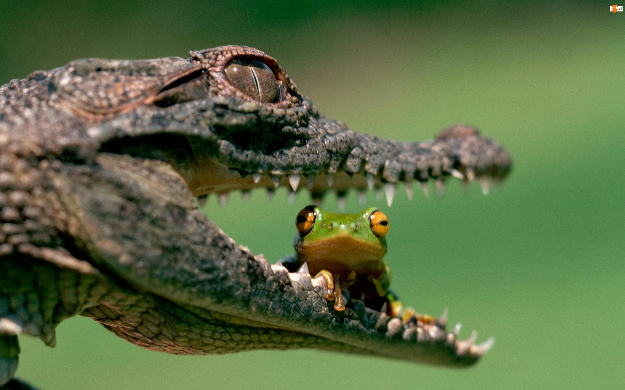 Żabka, Paszcza, Krokodyla