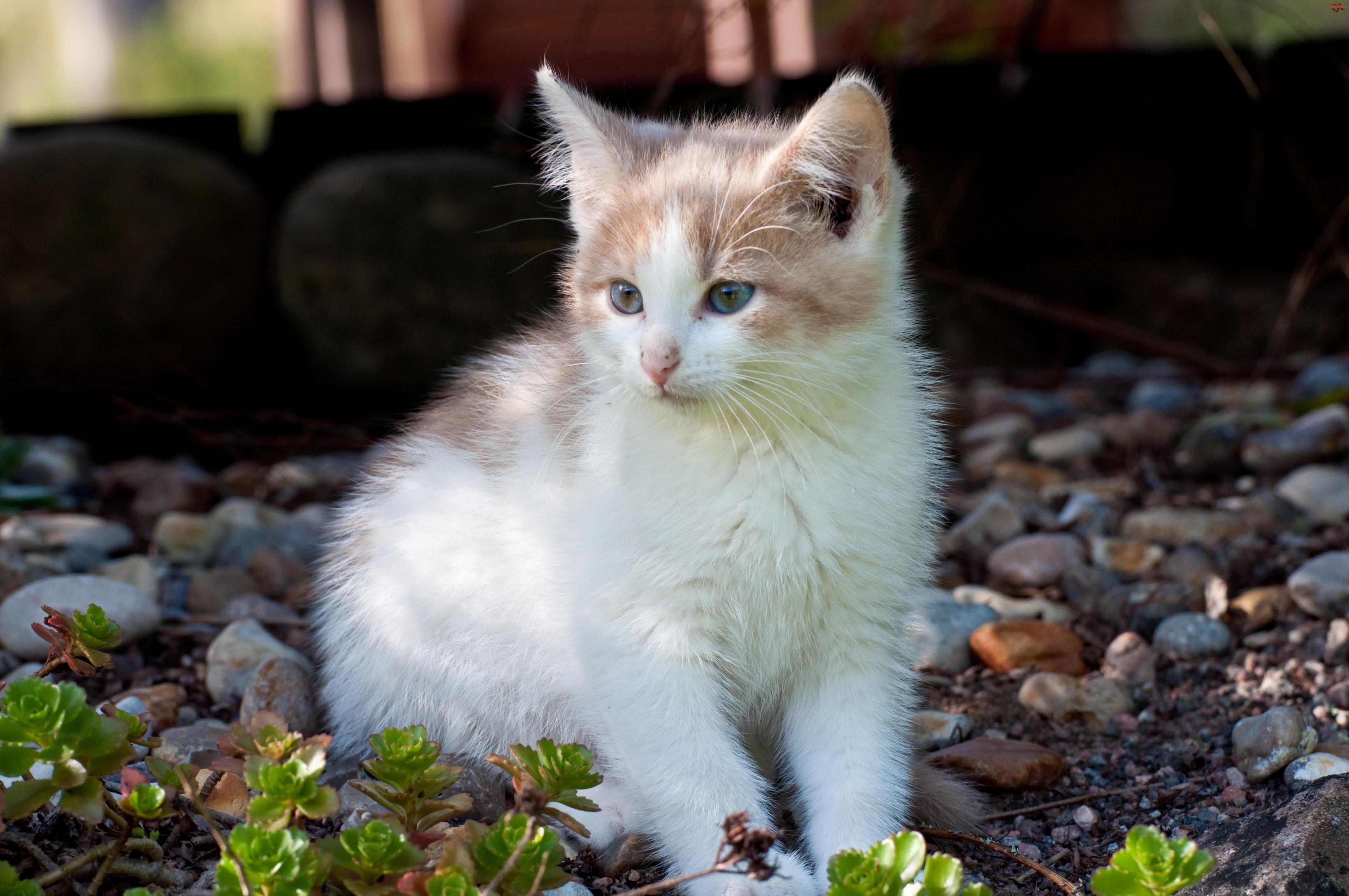 Kot, Kamienie